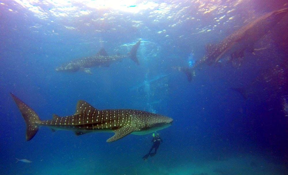 Pair of whale sharks