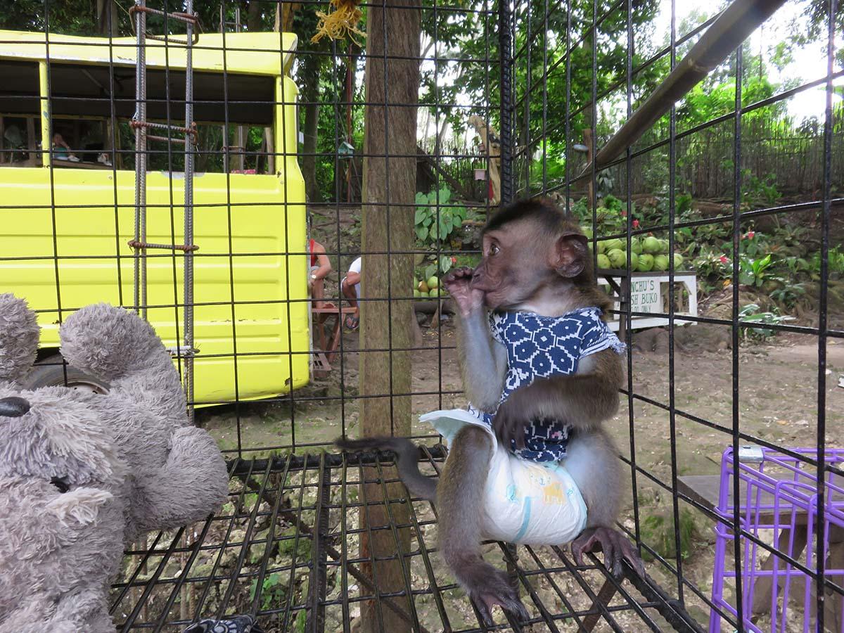 So cute - baby Macaque monkey kept as a pet