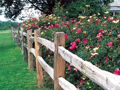 Antique rose Emporium -