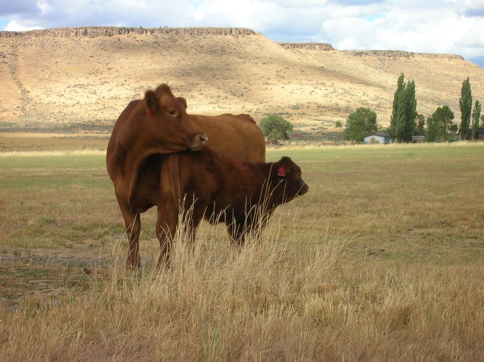 Cow phot.jpg
