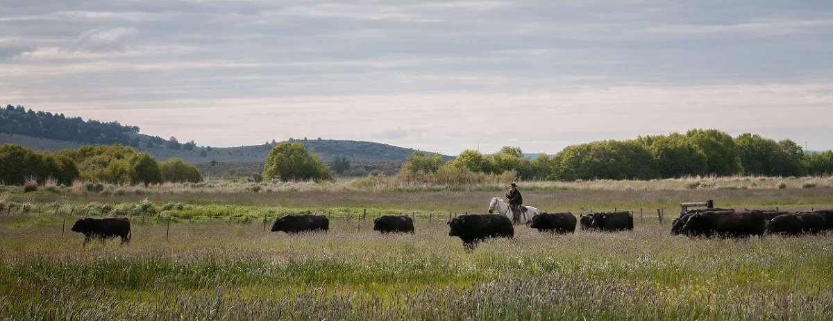 Wyatt-Starbuck-bringing-in-bulls-to-turn-out-4.25x11DSC_0357.jpg