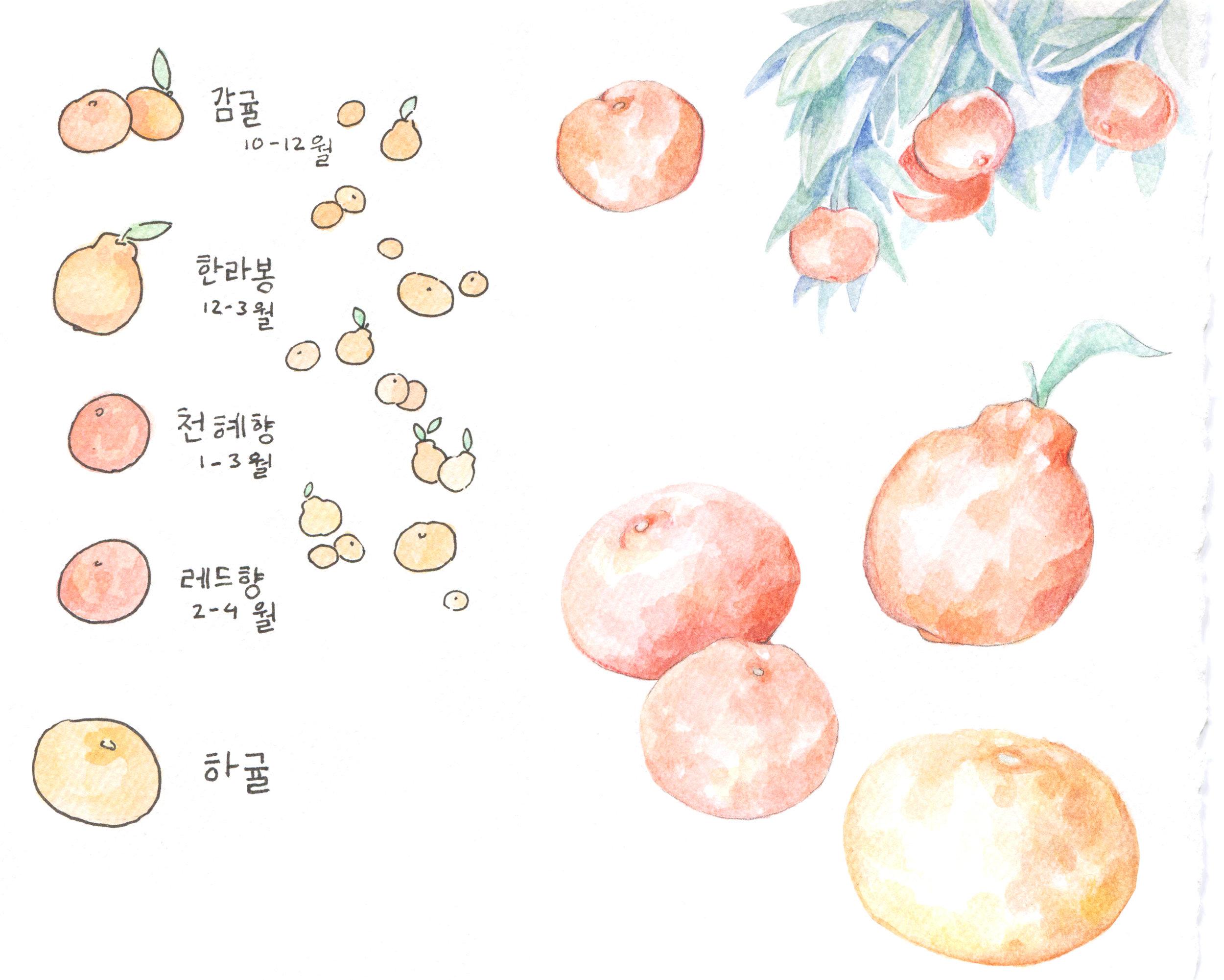 Jeju Island mandarins illustration, from top to bottom: Gamgyul (Oct-Dec), Hallabong (Dec-Mar), Cheonhyehyang (Jan-Mar), Redhyang (Feb-Apr), Hagyul (late spring)