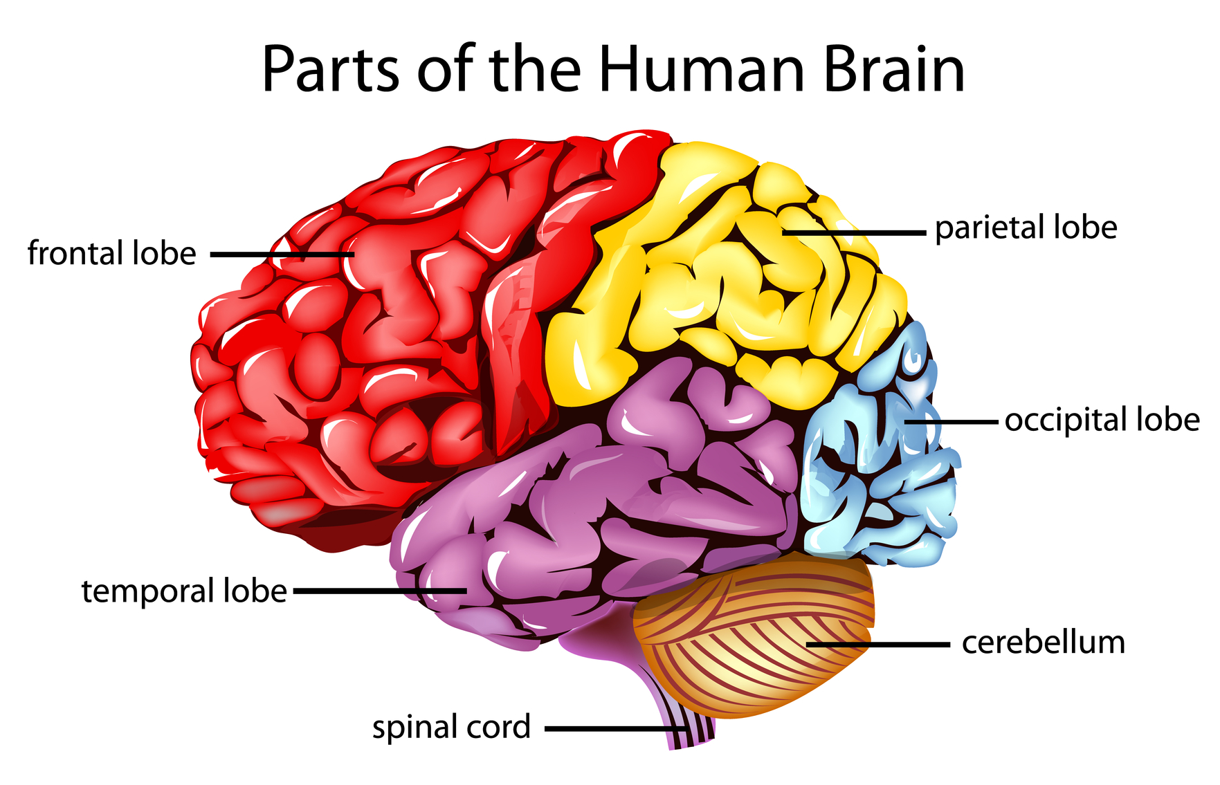 What is Brain Injury? — Hamilton Brain Injury Association