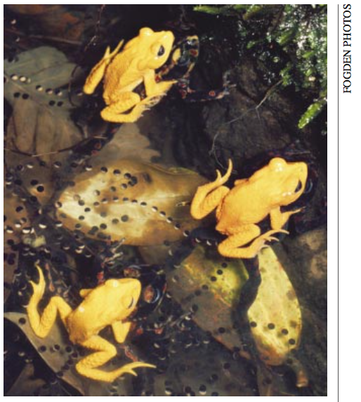A photo of Golden Toads at their breeding pools, found in an essay by Alan Pounds.