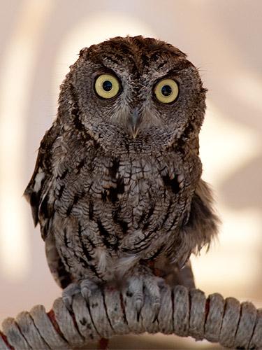 Screech-Owl.jpg