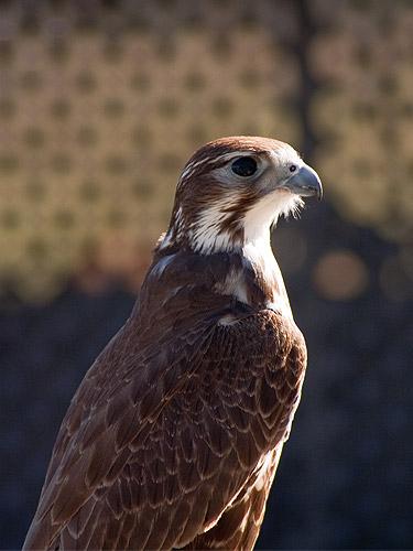 Prairie-Falcon1.jpg