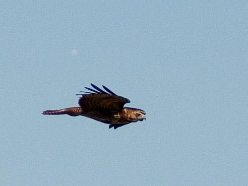 Red-Tailed-Hawk-in-Flight.jpg