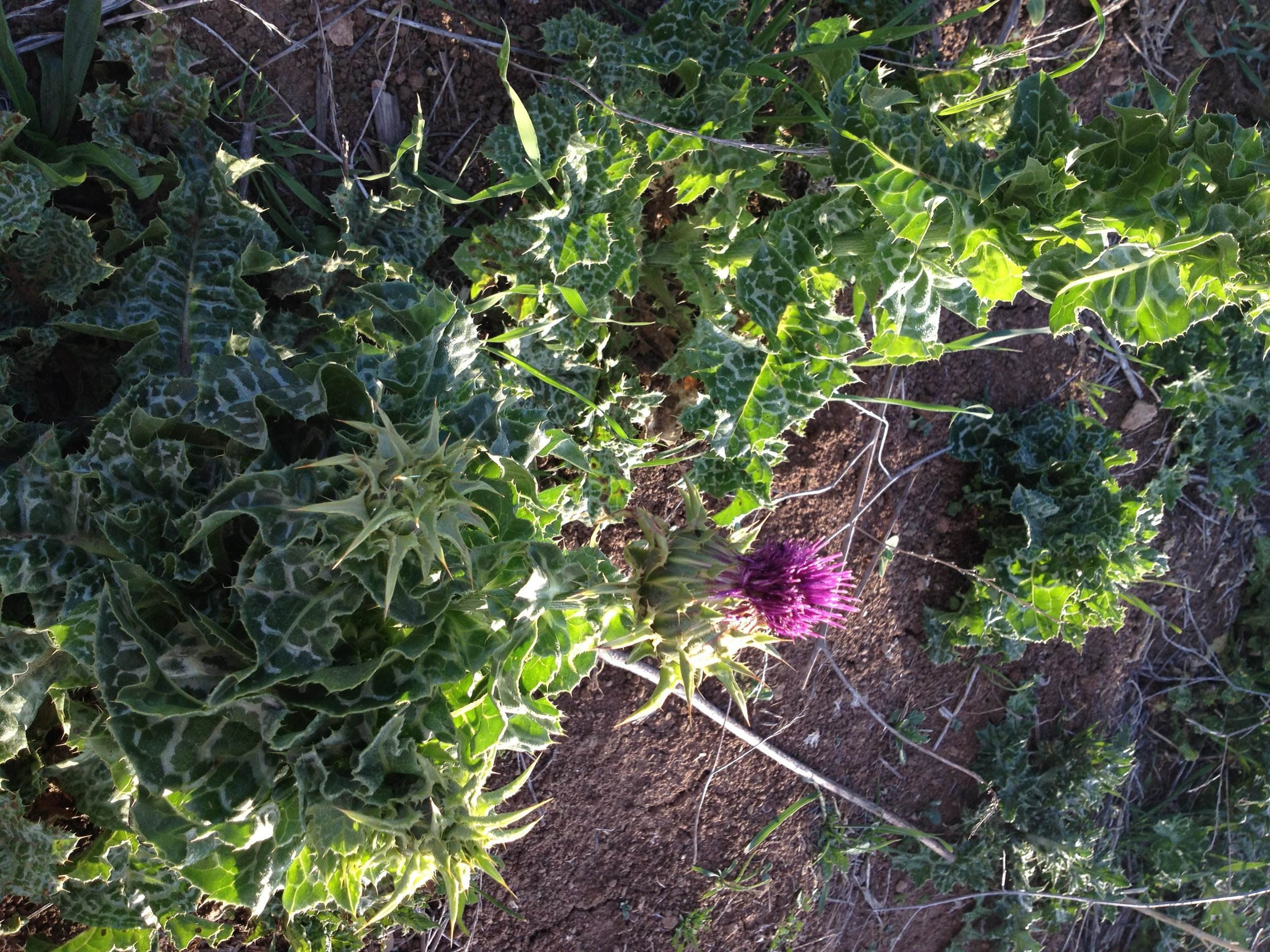 Thistles-ouch.jpg