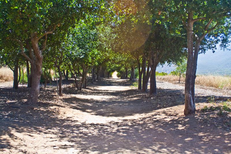 Oaks lining the Iron Mountain Trail