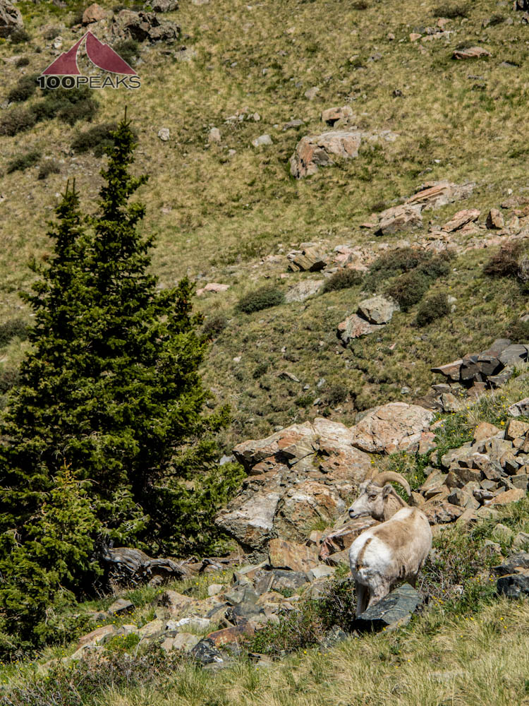 Bighorn Sheep on the Wheeler Peak Trail