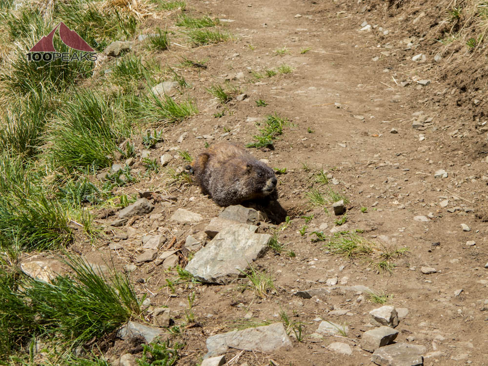 Marmot on the Wheeler Peak Trail