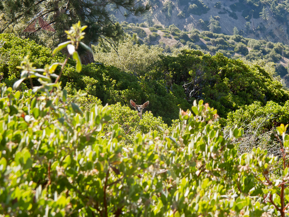 Peeking Deer near Reyes Peak