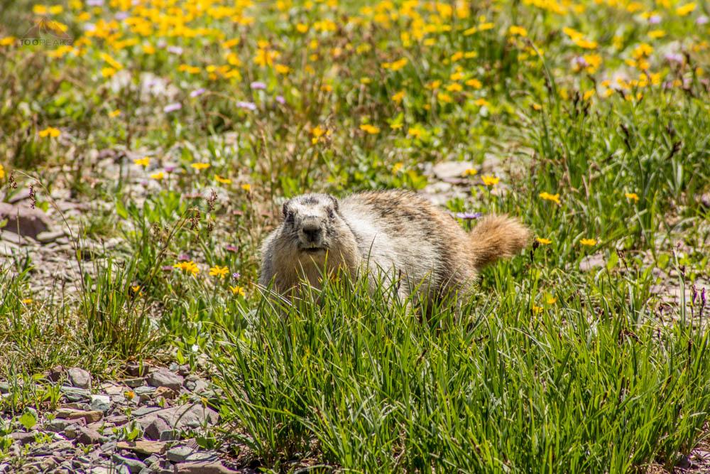 Marmot on the way to Hidden Lake, Glacier National Park