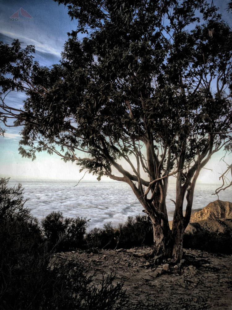 Eucalyptus Tree on the Cold Spring Trail