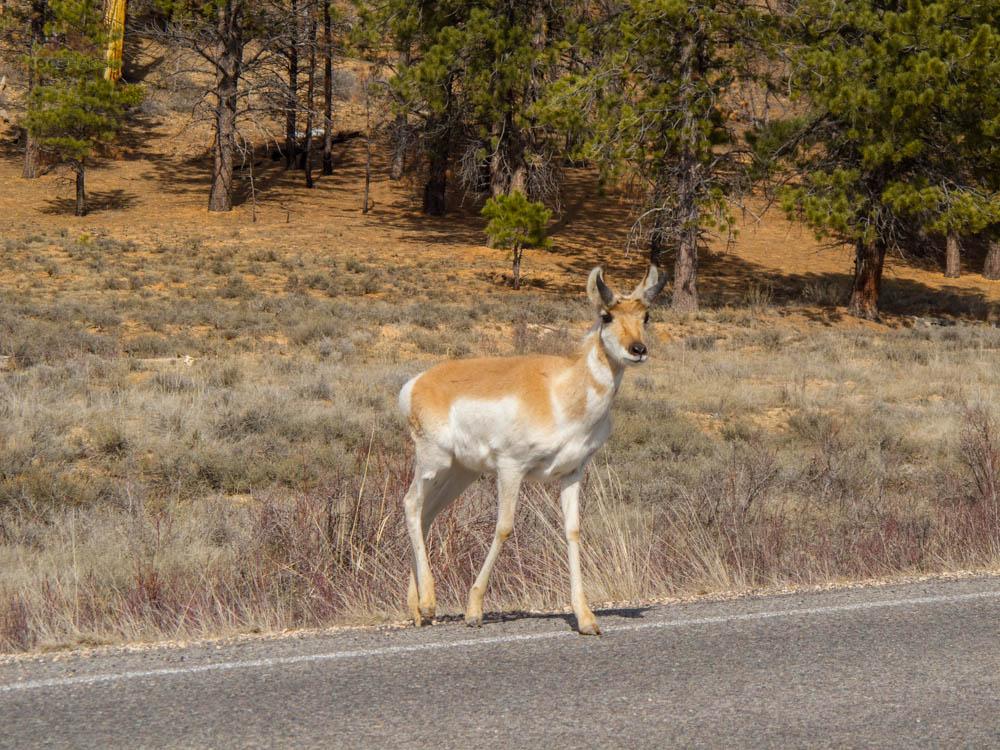 Pronghorn at Bryce Canyon