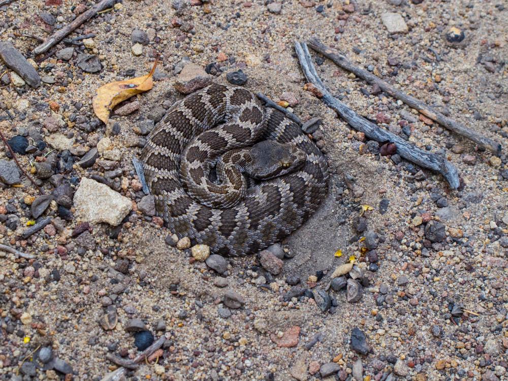 Juvenile Rattlesnake along the trail