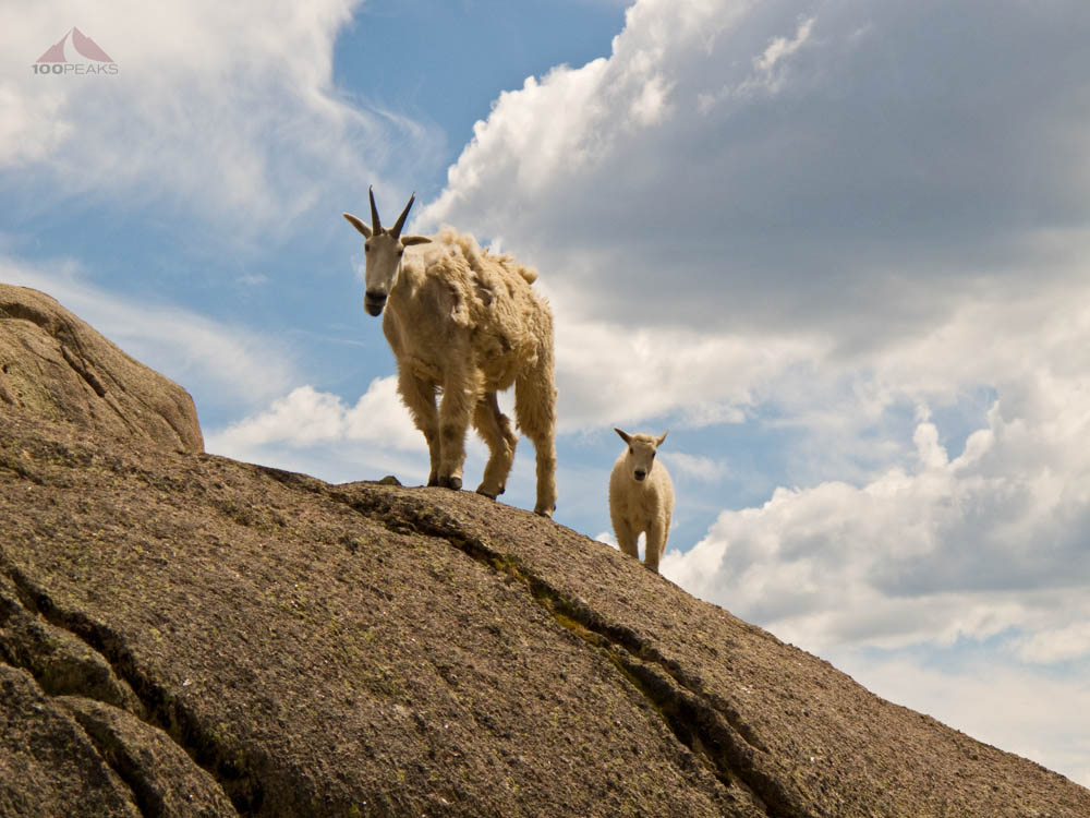 Mother goat and kid In Chicago Basin 2011