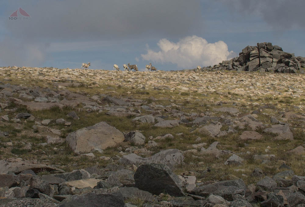A herd of Big Horn Sheep on White Mountain