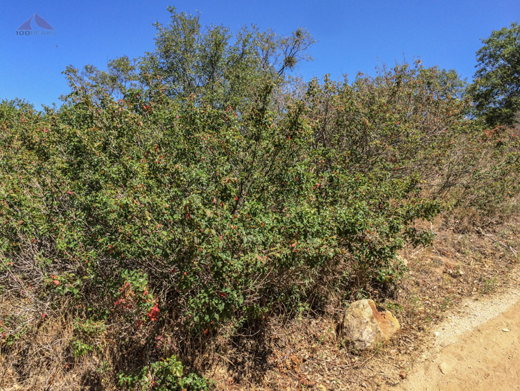There's poison oak in San Diego, too