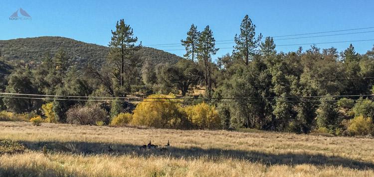Turkeys in the meadow