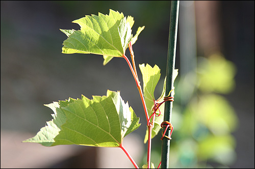 The rogue vine is clinging on