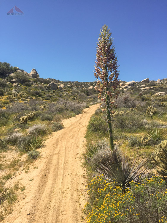Yucca bloom along the trail
