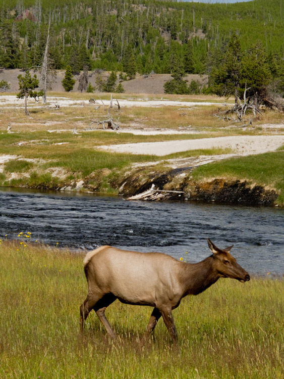 Elk near the Firehole River in Yellowstone National Park