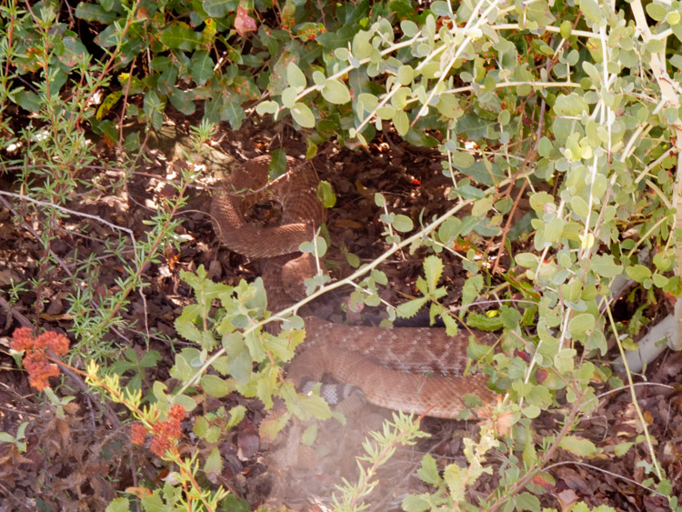 Large rattlesnake on the El Cajon Mountain Trail