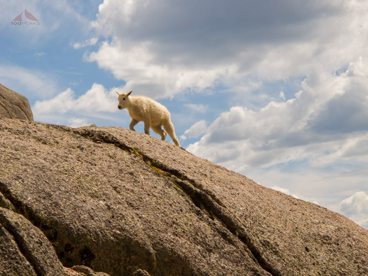Mountain Goat Kid above Chicago Basin, Colorado