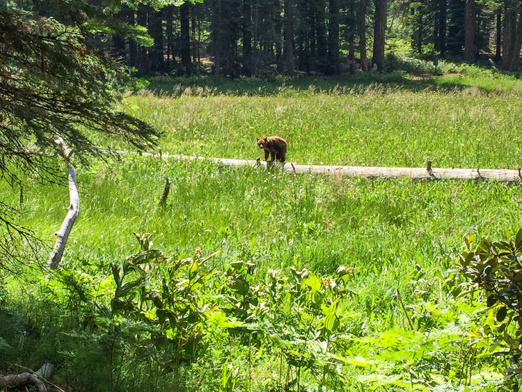 Bear cub in Crescent Meadow