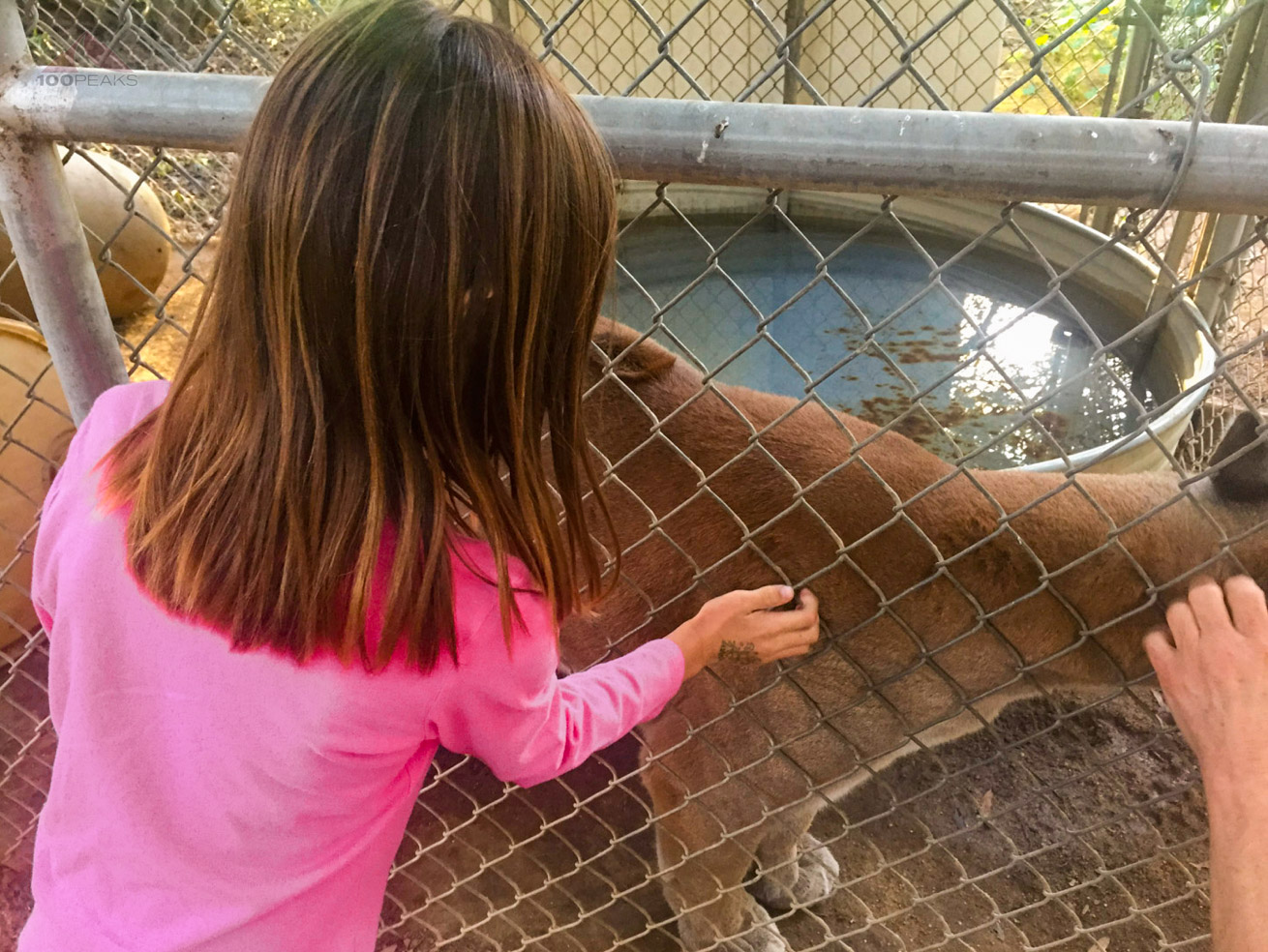 Sophia, when she was 6, petting a mountain lion at Mostly Monkeys