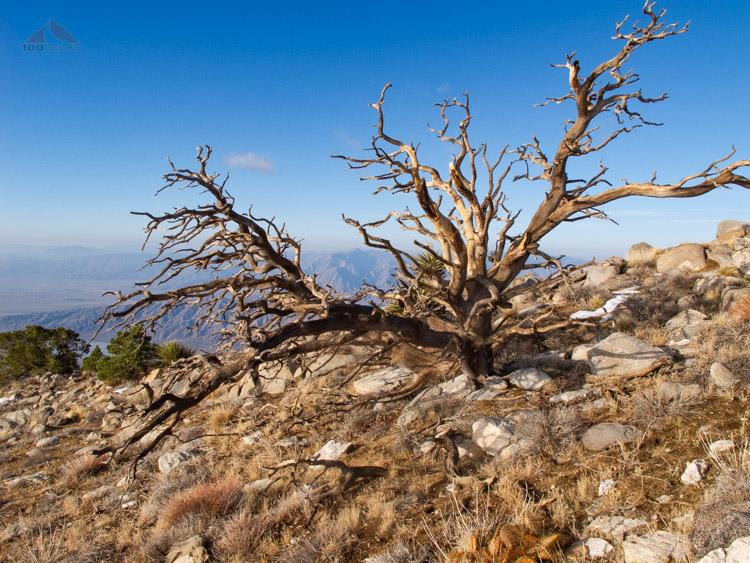 Interesting tree below Rabbit Peak