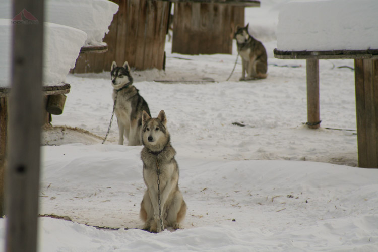 Sled dogs waiting to run