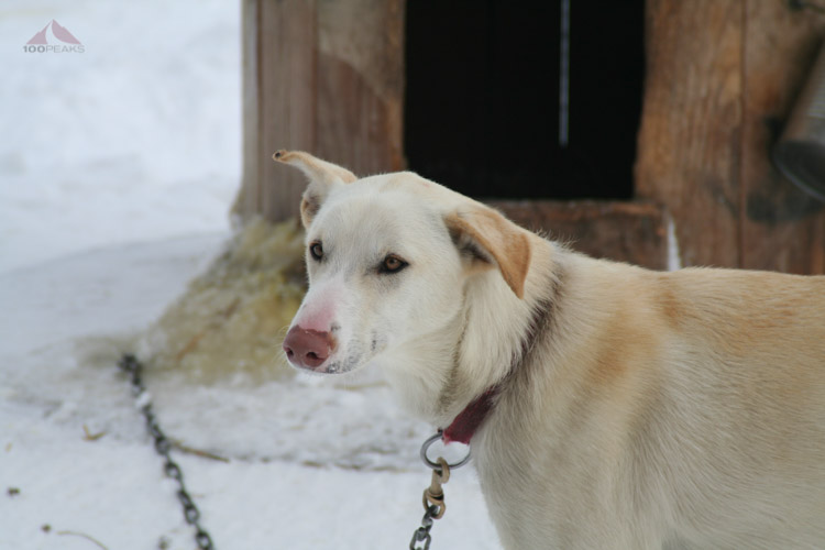 One of the sled dogs