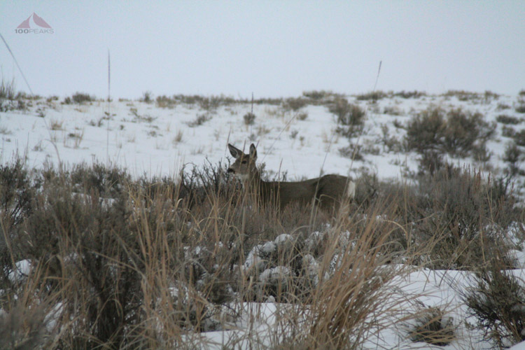 Mule deer on West Gros Ventre Butte
