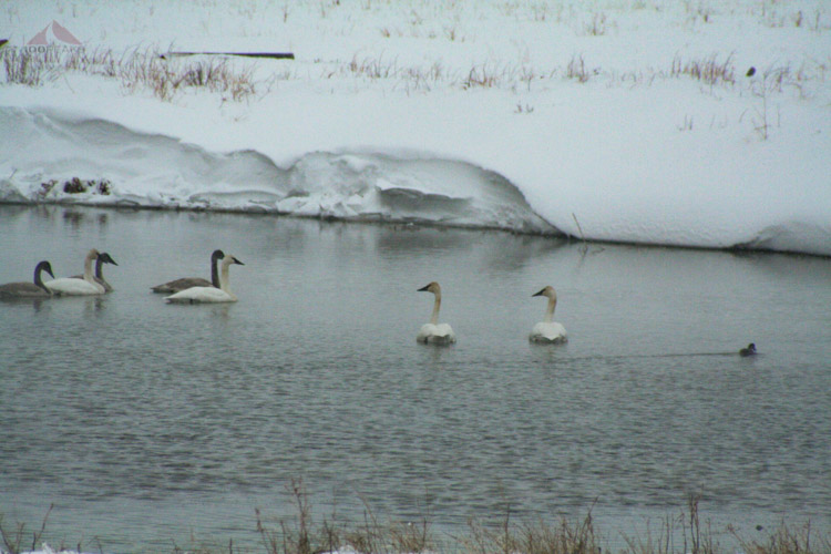 Geese in the warm pond