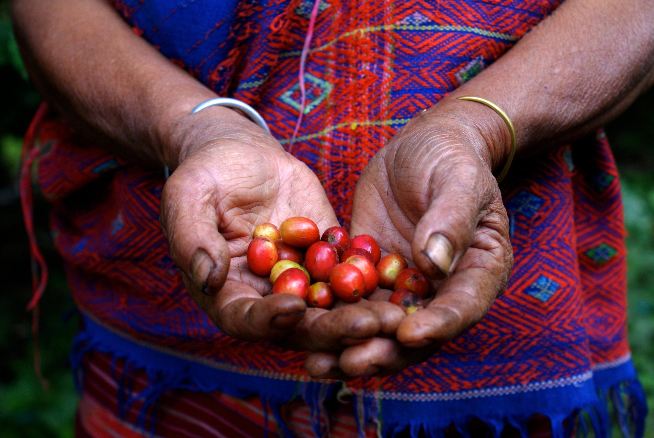 Hand picked coffee cherries