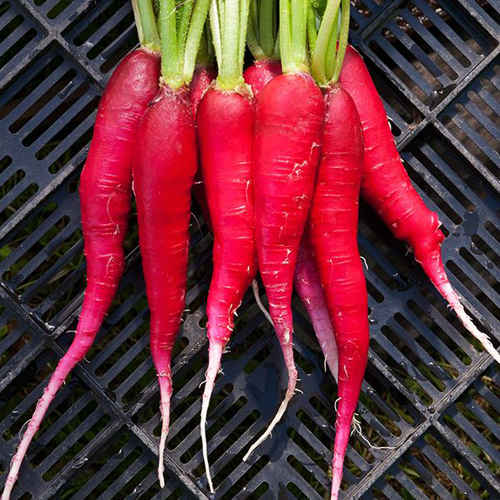csa-veg-radish-1.jpg