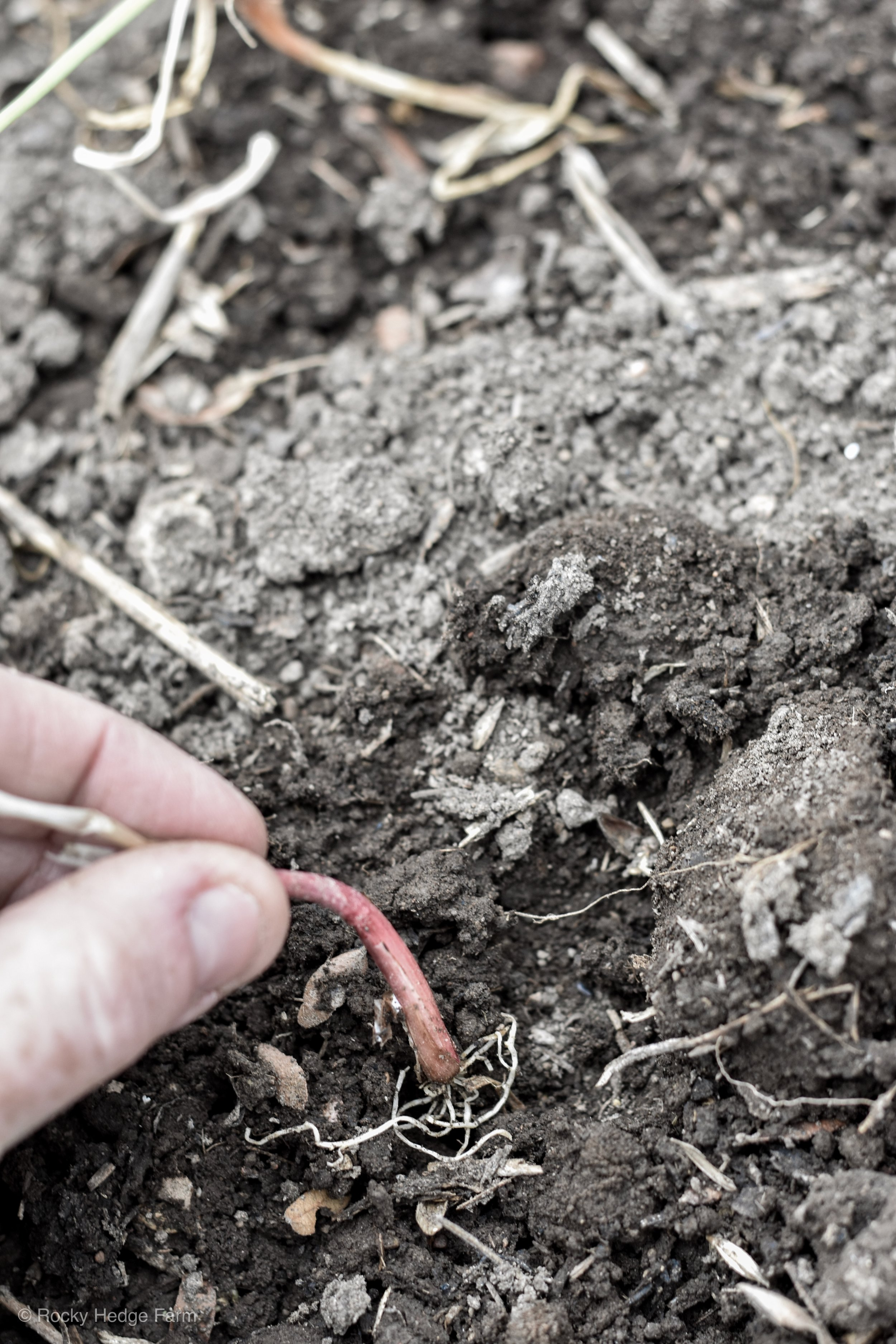 How to Plant Onions in the Garden   Rocky Hedge Farm