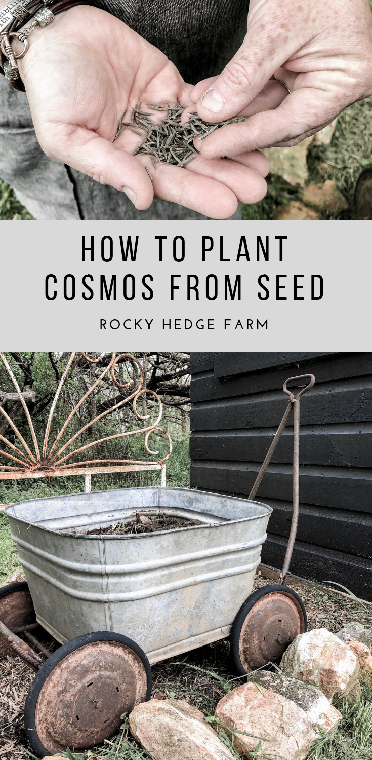 How to Plant Cosmos | Rocky Hedge Farm