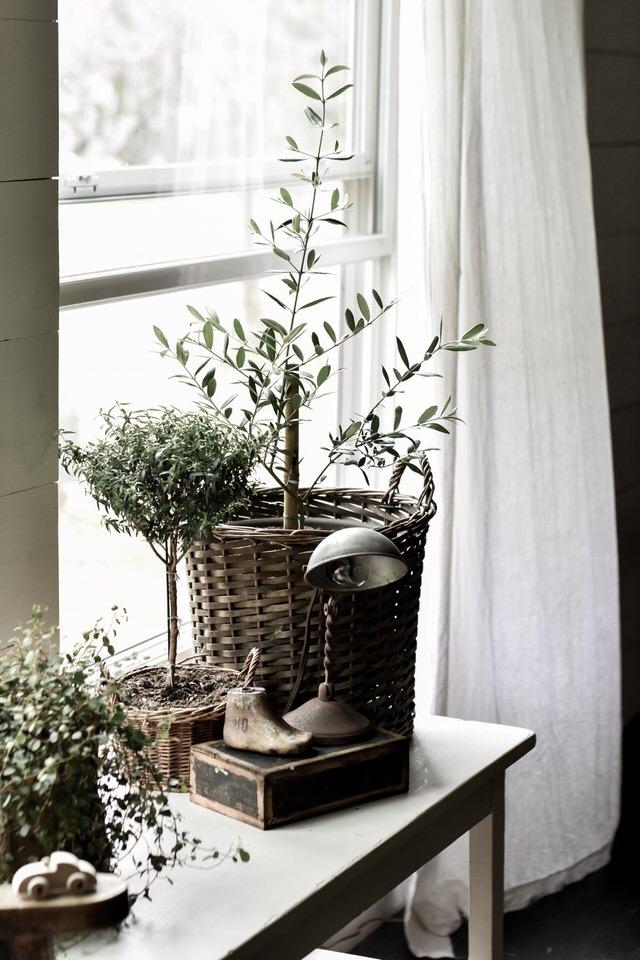 真正的橄榄树和古董发现