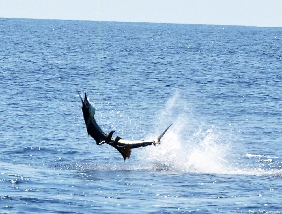 Dupe a Fish Charters - Sailfish, blue marlin, bill fish, you name it. Come to Puerto Vallarta to fly fish for these unbelievable species.