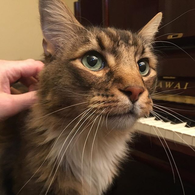 This handsome guy accompanied me while tuning an equally handsome Kawai K-5. He's a Maine Coon and quite large. #piano #pianotuner #cat #mainecoon #beautifulworld #boise