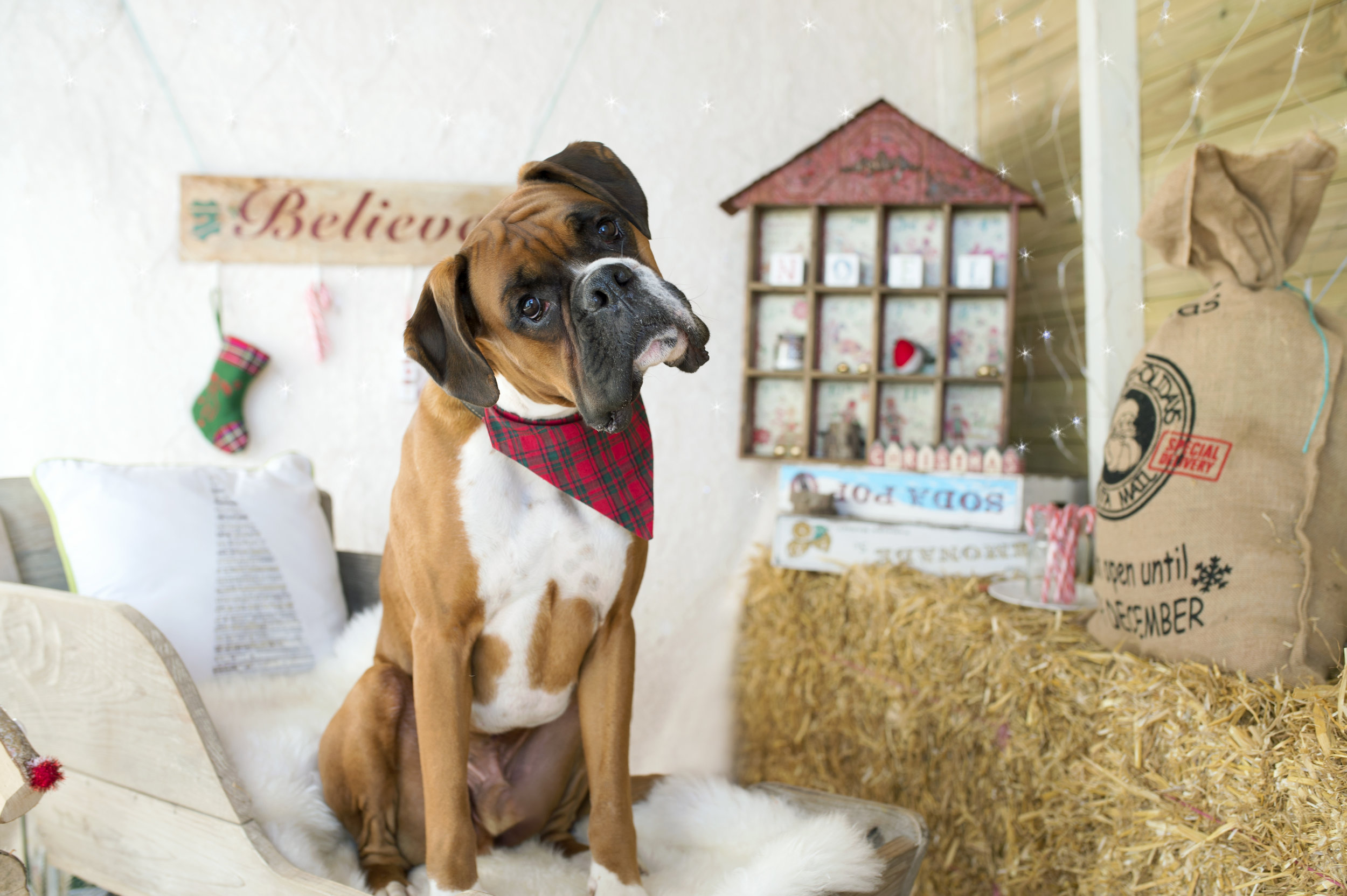 Boomer the dog enjoying his Christmas photography session!