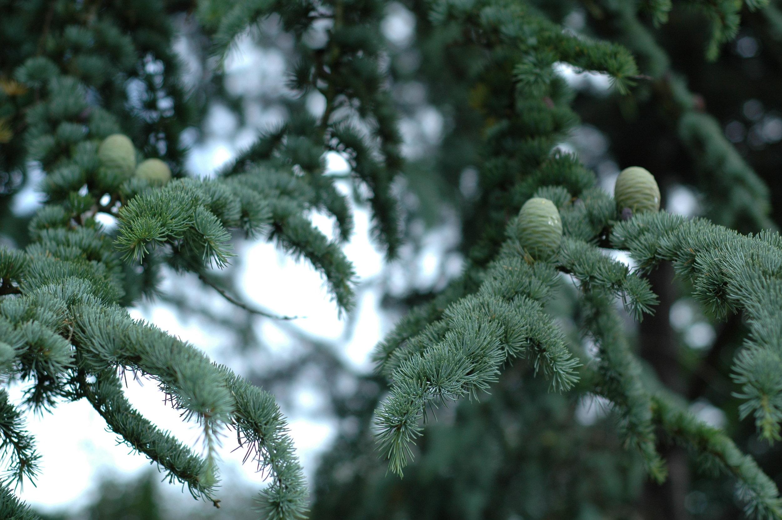 Evergreen-cedar-tree-winter