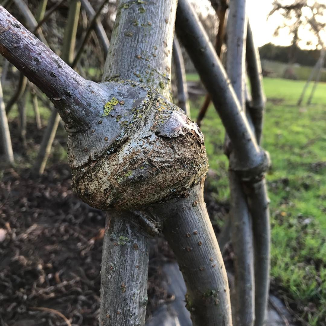 A beautiful, natural graft on the willow.   photo courtesy spencer jenkins
