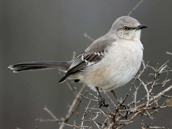 Northern Mockingbird -