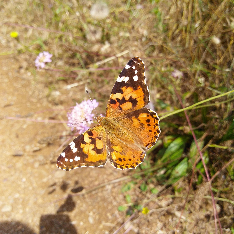Las mariposas son una compañía frecuente durante la primavera y el verano en Collserola.