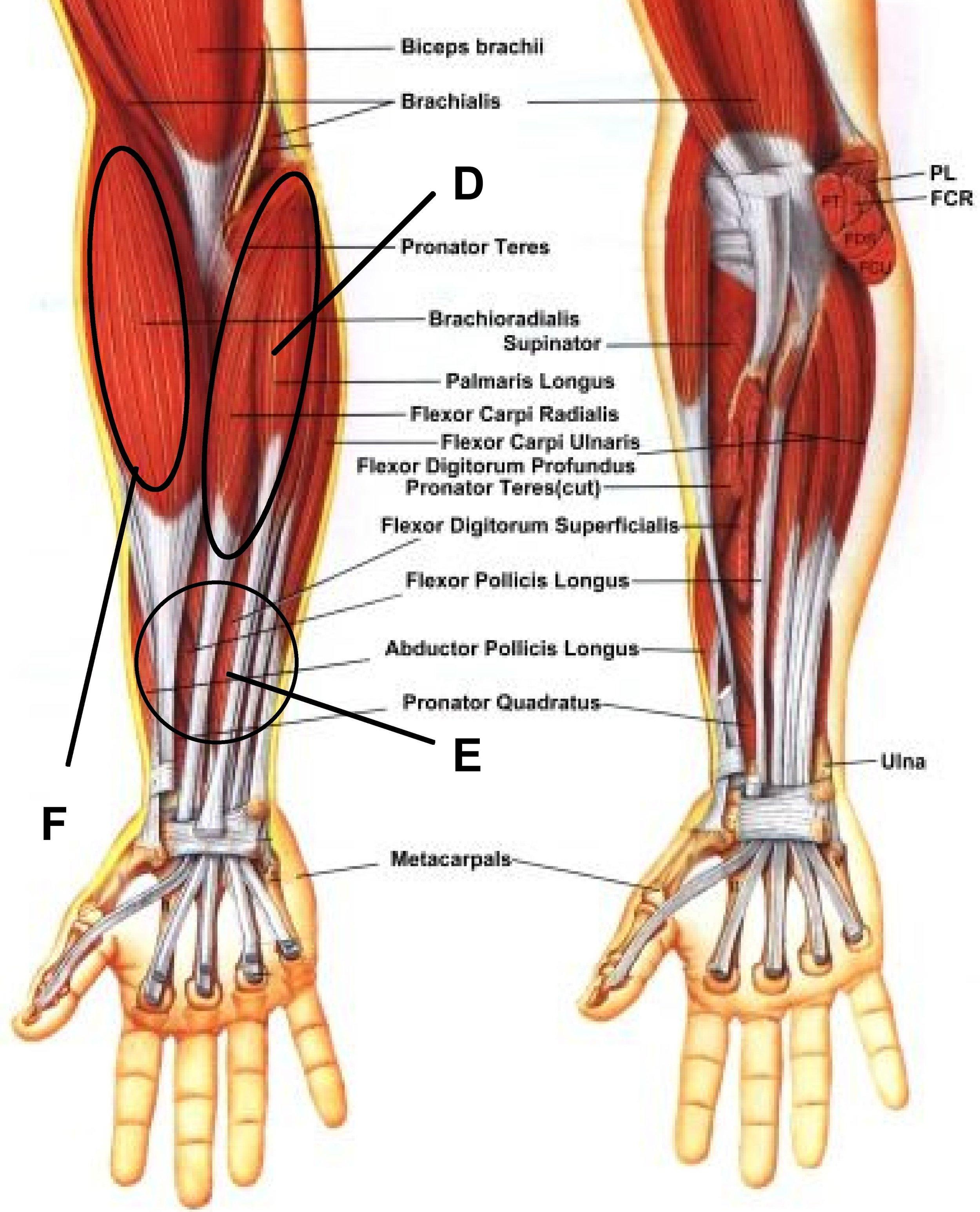 carpal muscles.jpg