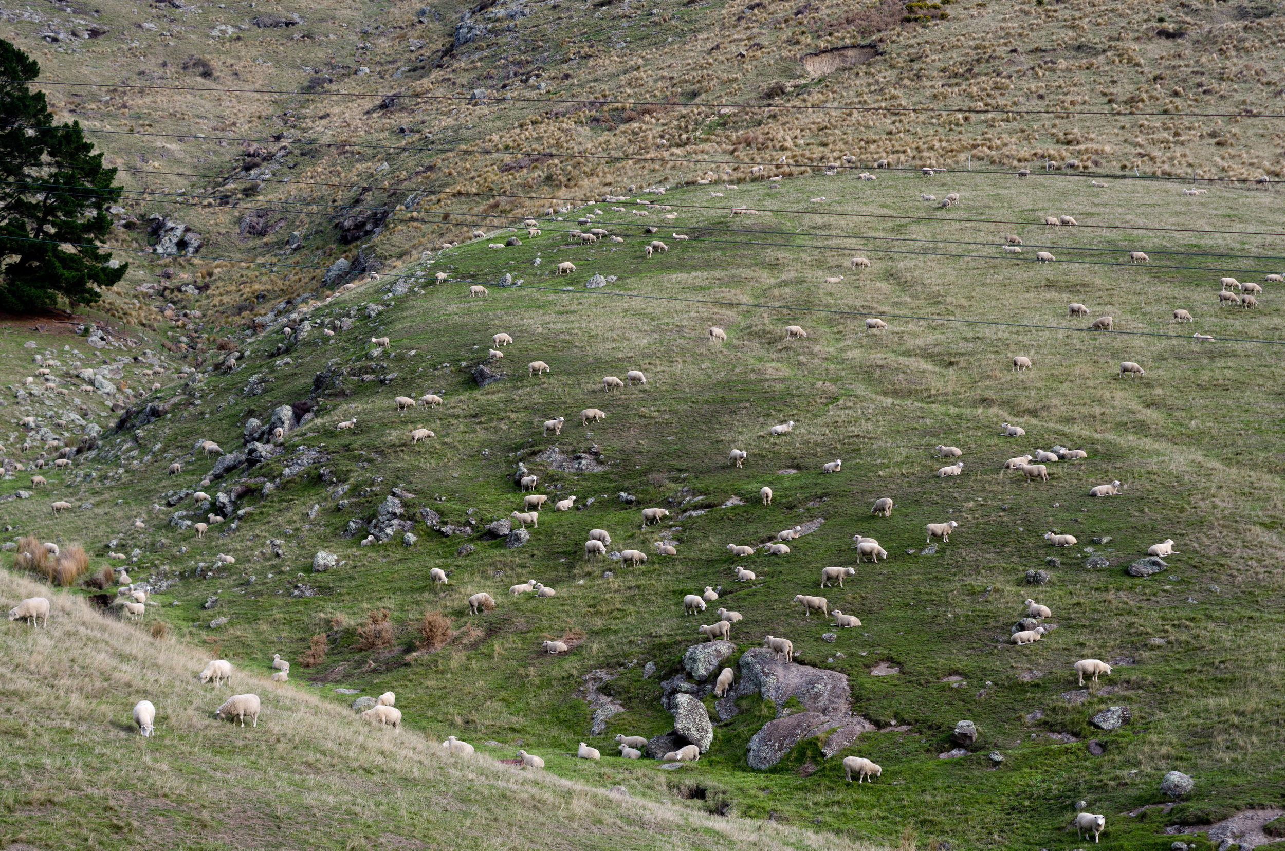 Sheep grazing in a field in New Zealand. Manure from farm animals can lead to high loads of nitrogen and phosphorus in run-off, which has implications on water quality downstream.